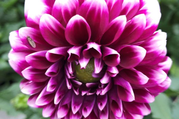 Ålyckan blomma