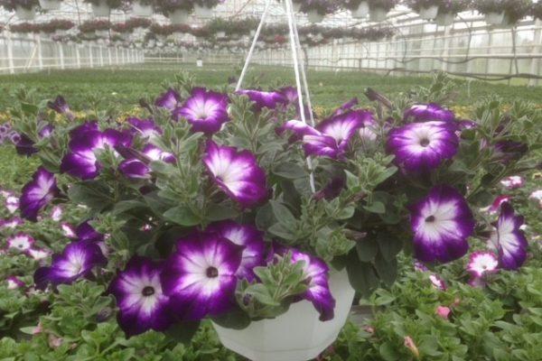 ampel petunia lila